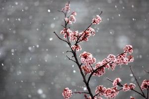 Plum tree in spring snow
