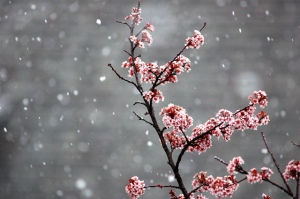 Plum tree in spring snow